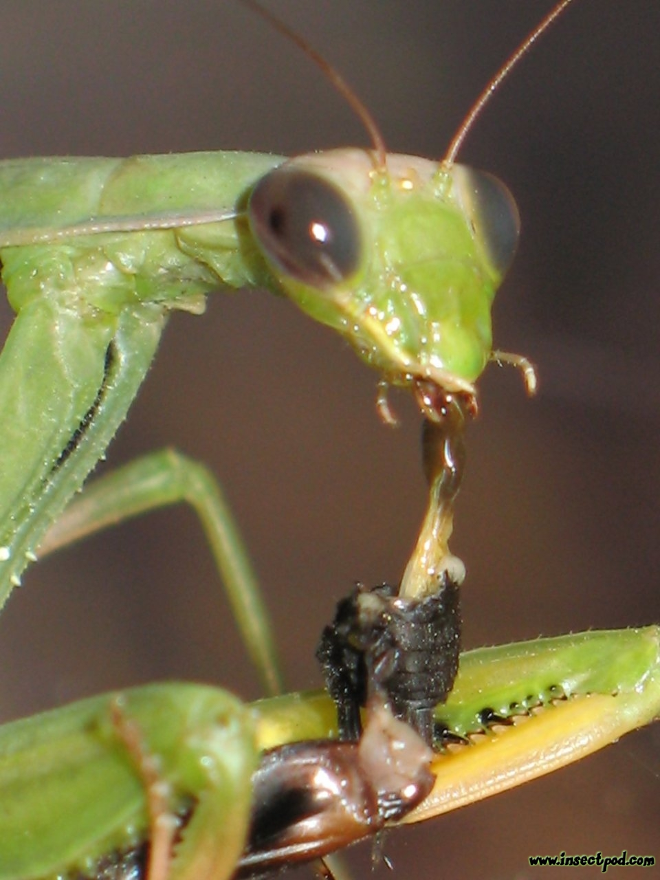 20071031_mantis_cricket_goo_big1